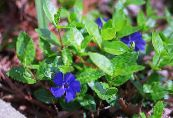 Common Periwinkle, Creeping Myrtle, Flower-of-Death, Vinca minor photo blue