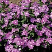 Common Periwinkle, Creeping Myrtle, Flower-of-Death, Vinca minor photo lilac