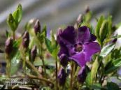 Common Periwinkle, Creeping Myrtle, Flower-of-Death, Vinca minor photo purple