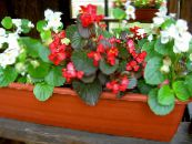 Wax Begonias red