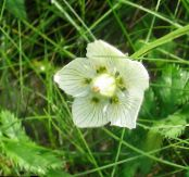 Grass of Parnassis, Bog Star white