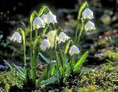 Spring Snowflake, St. Agnes' Flower, Leucojum photo white
