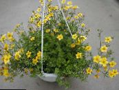 Garden Flowers Bur Marigold, Apache Beggarticks, Bidens photo yellow