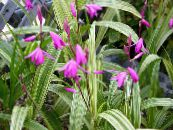 Garden Flowers Ground Orchid, The Striped Bletilla photo pink