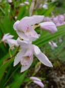 Ground Orchid, The Striped Bletilla white