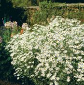 Garden Flowers Bolton's Aster, White Doll's Daisy, False Aster, False Chamomile, Boltonia asteroides photo white