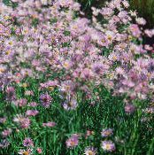 Garden Flowers Bolton's Aster, White Doll's Daisy, False Aster, False Chamomile, Boltonia asteroides photo lilac