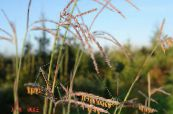 Big Bluestem, Turkeyfoot
