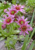 Garden Flowers Jovibarba, Hens and chickens houseleek photo pink