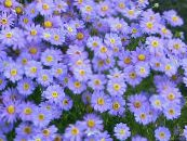 Garden Flowers Swan River daisy, Brachyscome photo light blue