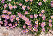 Garden Flowers Swan River daisy, Brachyscome photo pink