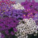 Garden Flowers Swan River daisy, Brachyscome photo purple