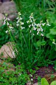 Spanish Hyacinth white