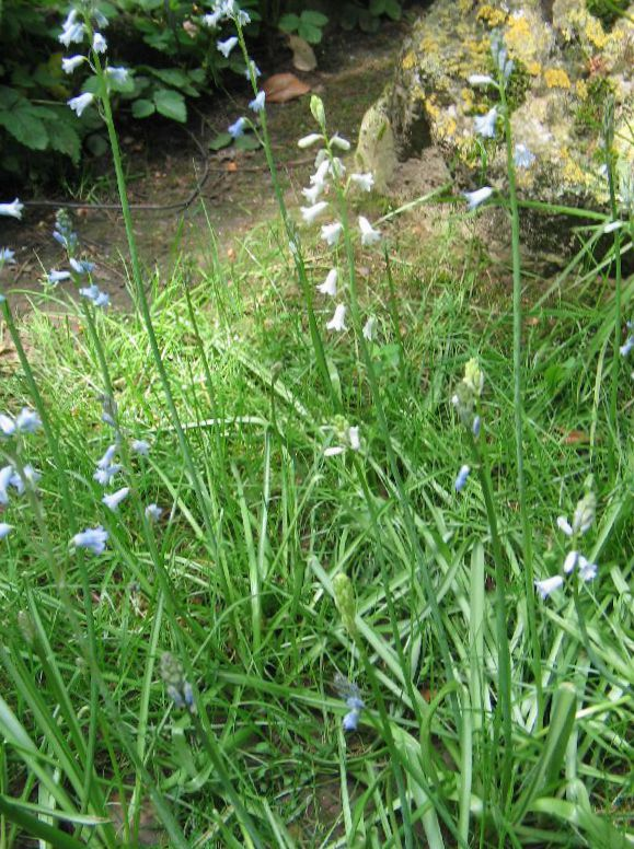Flores do jardim jacinto espanhol brimeura amethystina - Jacinto planta cuidados ...