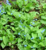 Garden Flowers False forget-me-not, Brunnera macrophylla photo light blue