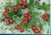 Garden Flowers Lingonberry, Mountain Cranberry, Cowberry, Foxberry, Vaccinium vitis-idaea photo red
