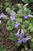 Garden Flowers Ale Ivy, Field Balm, Ground Ivy, Glechoma photo lilac