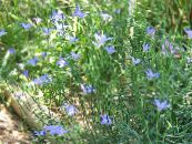 Australian Bluebell, Tall Bluebell light blue