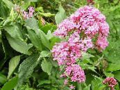 Jupiter's Beard, Keys to Heaven, Red Valerian
