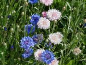 Knapweed, Star Thistle, Cornflower, Centaurea photo pink