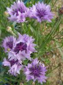 Knapweed, Star Thistle, Cornflower, Centaurea photo lilac