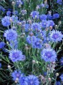 Knapweed, Star Thistle, Cornflower light blue