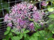 Garden Flowers Meadow rue, Thalictrum photo lilac