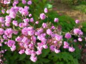 Garden Flowers Meadow rue, Thalictrum photo pink