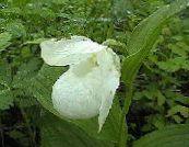 Lady Slipper Orchid white