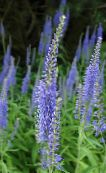 Longleaf Speedwell light blue