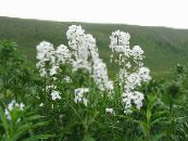 Garden Flowers Sweet rocket, Dame's Rocket, Hesperis photo white