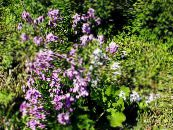 Garden Flowers Sweet rocket, Dame's Rocket, Hesperis photo lilac