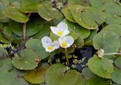 European Frogbit white