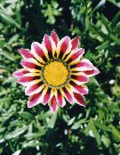 Treasure Flower, Gazania photo burgundy