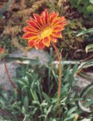 Treasure Flower, Gazania photo orange