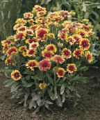 Blanket Flower burgundy