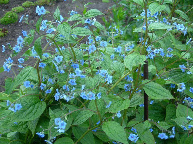 Gartenblumen Blau Stickseed, Hackelia foto, Merkmale und Landung ...