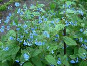 Garden Flowers Blue Stickseed, Hackelia photo light blue