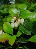 Gaultheria, Checkerberry white