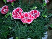 Dianthus, China Pinks pink