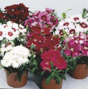 Dianthus, China Pinks burgundy