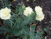 Garden Flowers Carnation, Dianthus caryophyllus photo white