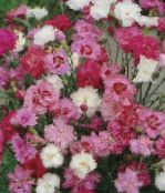 Garden Flowers Carnation, Dianthus caryophyllus photo pink