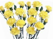 Garden Flowers Carnation, Dianthus caryophyllus photo yellow