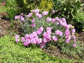 Garden Flowers Dianthus perrenial, Dianthus x allwoodii, Dianthus  hybrida, Dianthus  knappii photo pink