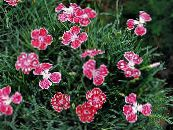 Dianthus perrenial red