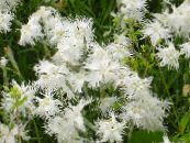 Dianthus perrenial white