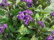 Heliotrope, Cherry pie plant purple