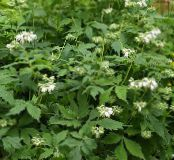 Virginia Waterleaf white