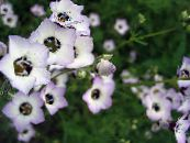 Gilia, Bird's Eyes white